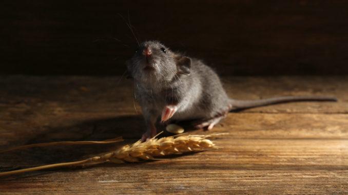 Mäusefutter